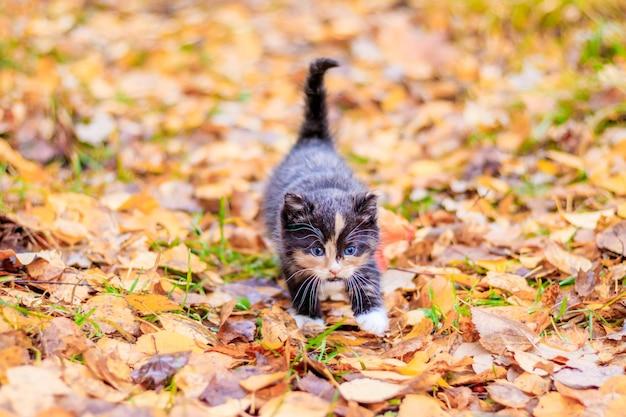 Mały kotek na ścieżce z liśćmi. kotek na spacerze jesienią. zwierzę domowe.