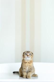 Mały kotek przez trzy miesiące siedzi i patrzy w górę. rasa kotek brytyjski zwisłouchy brązowy.