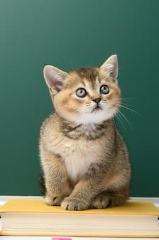 Mały kotek scottish straight siedzi na zielonej powierzchni, kot szynszyli