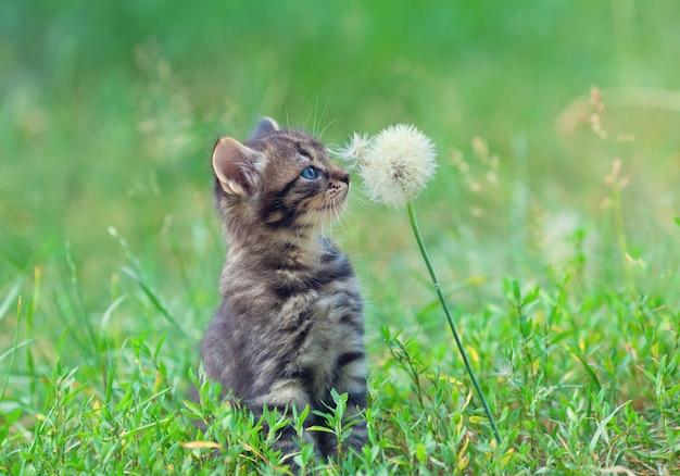 Mały kotek siedzi na trawie i wącha mniszek lekarski