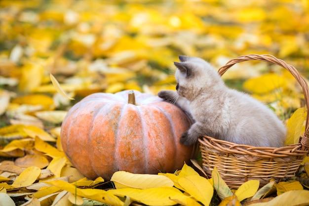 Mały kotek siedzi w koszu w pobliżu dużej dyni w ogrodzie na opadłych żółtych liściach jesienią