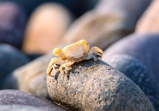 Mały krab siedzi na kamienistej plaży nad oceanem