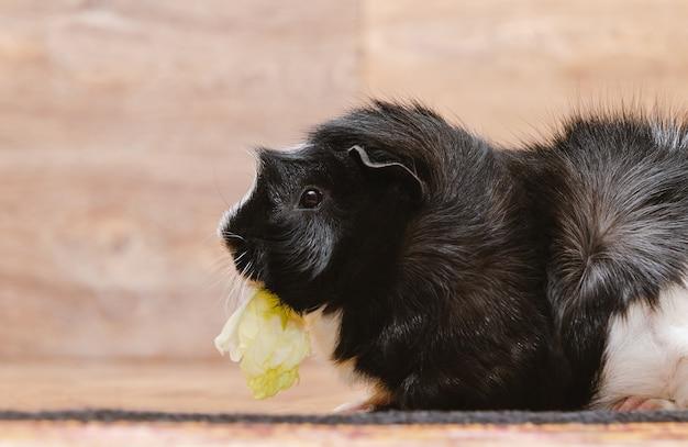 Mały królik doświadczalny je kapuścianego liść.