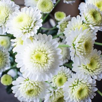 Mały krzaczasty biały chryzantemy zakończenie. pojęcie wiosny, lata, kwitnienia, wakacji.