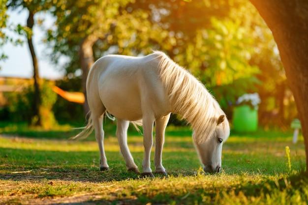 Mały kucyk palomino z białą grzywą pasie się na trawniku i zjada zieloną trawę o zachodzie słońca