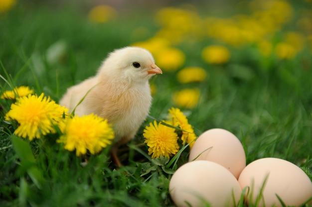Mały kurczak na trawie