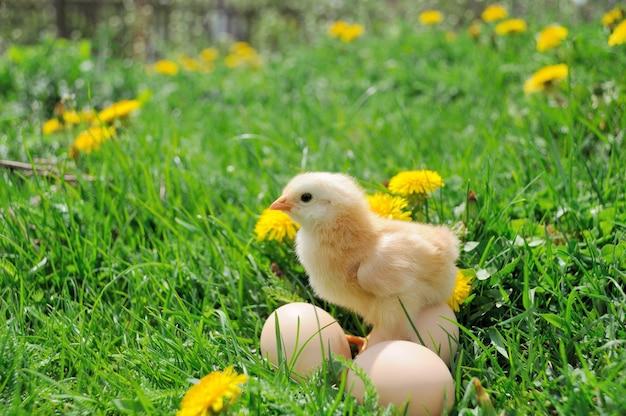 Mały kurczak na zielonej trawie.