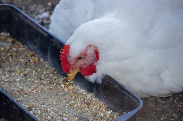 Mały kurnik i ogrodzony teren dla kurczaków