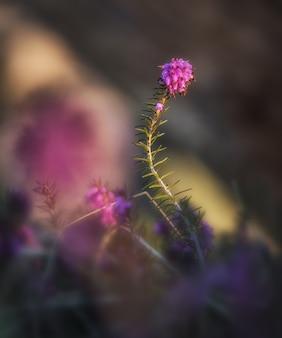 Mały kwiat erica