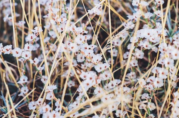 Mały kwiatu rocznika tło - natury piękna biała trawa kwitnie na zmielonej łące na jesieni