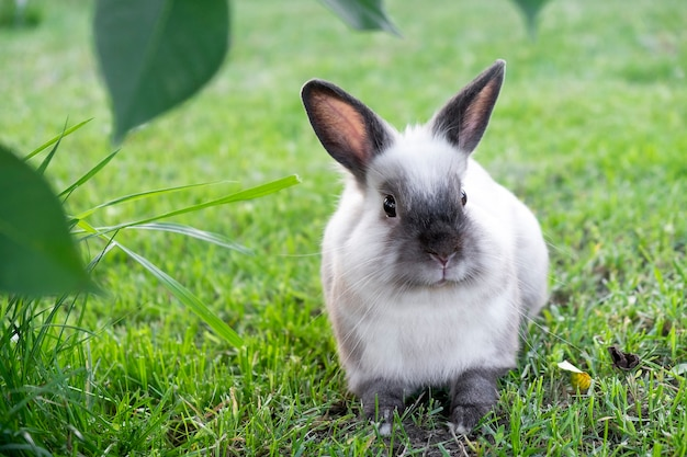 Mały ładny biały z szarym królikiem siedzącym w zielonej trawie w letni dzień. koncepcja zajączek.