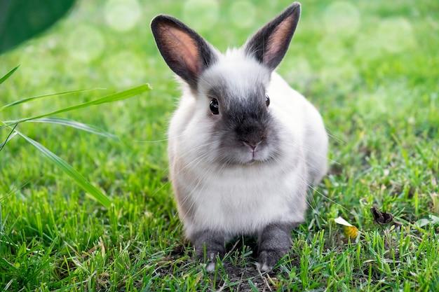 Mały ładny biały z szarym królikiem w zielonej trawie w bokeh światła słonecznego. koncepcja zajączek.