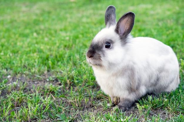 Mały ładny biały z szarym królikiem w zielonej trawie w letni dzień. koncepcja zajączek.