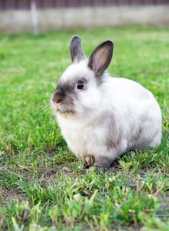 Mały ładny biały z szarym królikiem w zielonym podwórku w letni dzień. koncepcja zajączek.