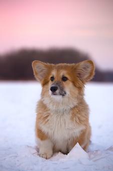 Mały ładny puszysty szczeniak corgi na zewnątrz portret z bliska w zimowy dzień w czasie zachodu słońca