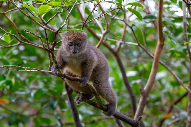 Mały lemur na gałęzi drzewa w lesie deszczowym