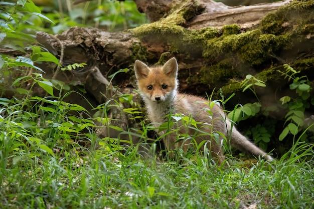 Mały lis czerwony stojący w lesie w przyrodzie lato