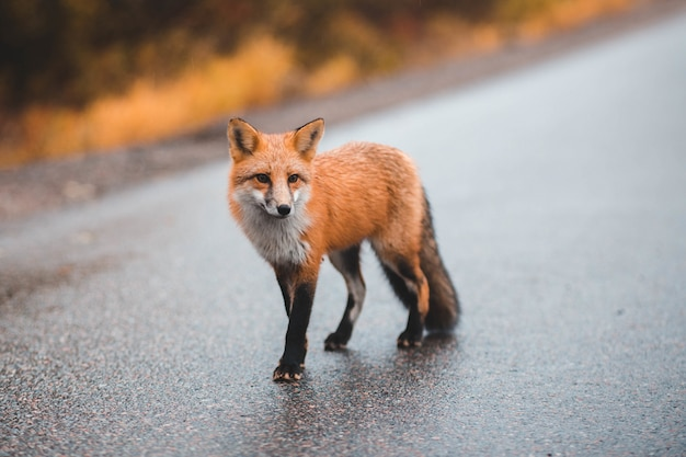 Mały lis na asfaltowej drodze