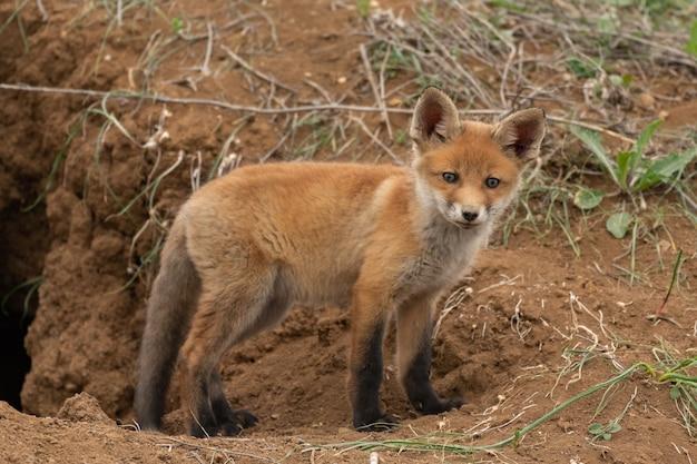 Mały lis w pobliżu jego dziury. vulpes vulpes.