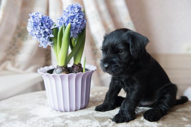 Mały miniaturowy szczeniak sznaucera z niebieskimi kwiatami hiacyntów