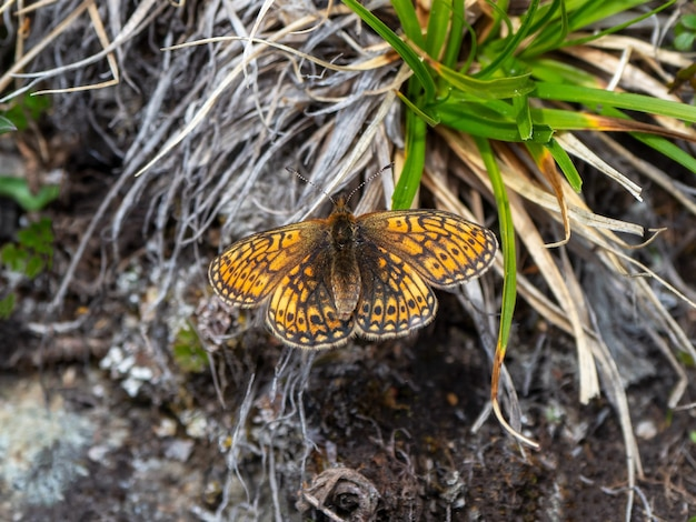 Mały motyl z masy perłowej (boloria eunomia) na suchej trawie, z bliska.
