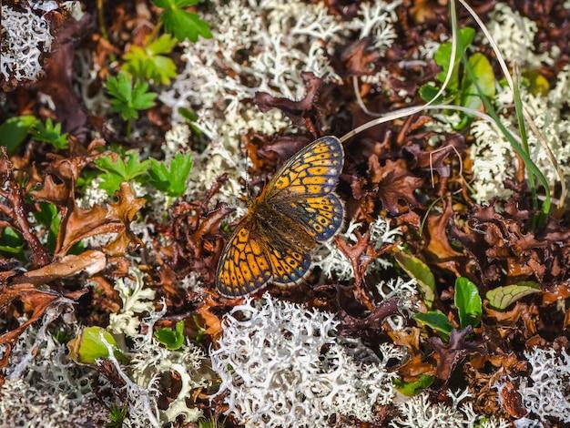 Mały motyl z masy perłowej (boloria eunomia) siedzi na białym mchu, z bliska.