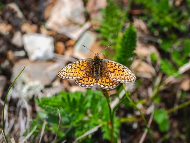 Mały motyl z masy perłowej (boloria eunomia) siedzi na zielonej trawie, z bliska.