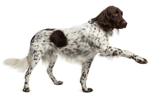 Mały munster lander, 3 lata. portret psa na białym tle