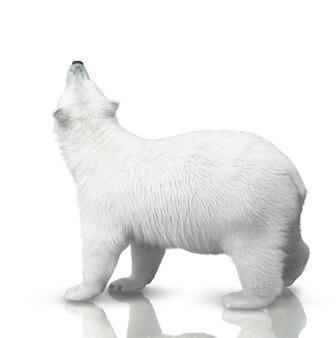 Mały niedźwiadek polarny jest odizolowany