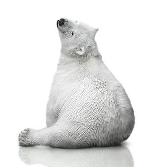 Mały niedźwiedź polarny siedzi