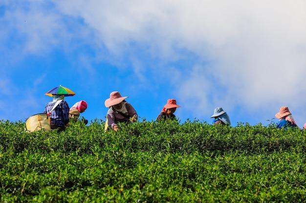 Mały obszar zielonej herbaty na wzgórzu górskim i rolnik tajski