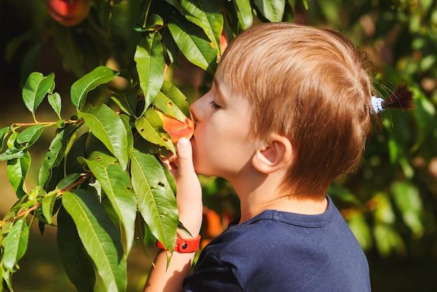 Mały ogrodnik pomaga i zbiera plony. owocowego drzewa sad w letnim dniu. szczęśliwe dziecko zrywanie brzoskwini w ogrodzie.