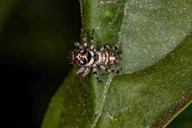 Mały pająk skaczący z gatunku philira micans