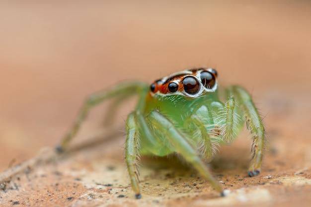Mały pająk skoków