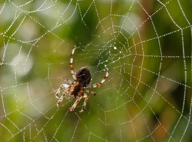 Mały pająk w sieci w letni poranek z kroplami rosy