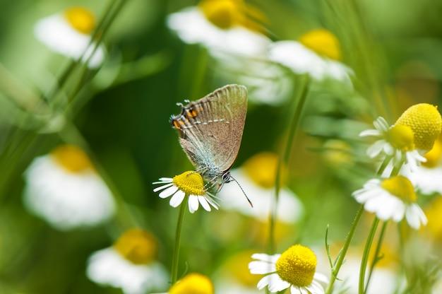 Mały piękny motyl na rumianku kwiacie