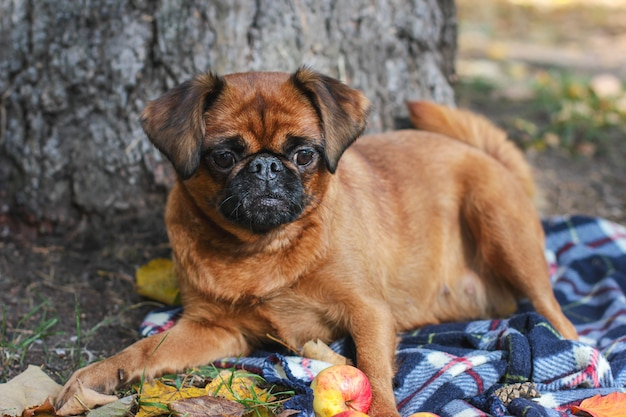 Mały pies brabancon o kasztanowym kolorze leżący na kocu und