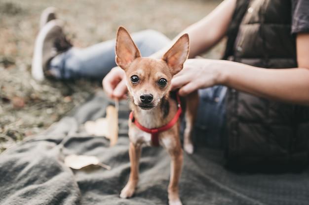 Mały pies chihuahua na spacerze po parku z właścicielem