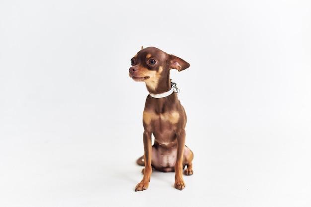Mały pies chihuahua pozowanie na białym tle