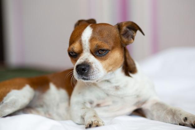 Mały pies chihuahua z poważną twarzą leżącą na łóżku.