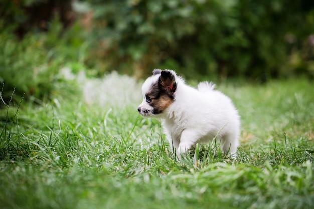Mały pies chodzi