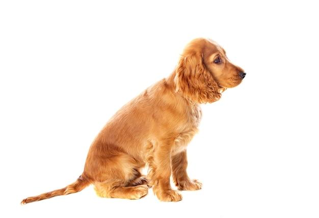Mały pies cocker spaniel z pięknymi blond włosami na białym tle
