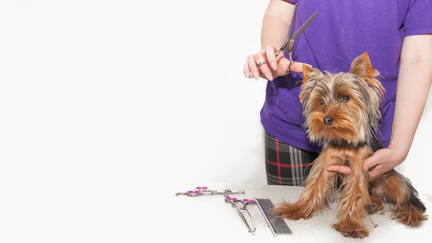 Mały pies dostaje fryzurę na białym tle