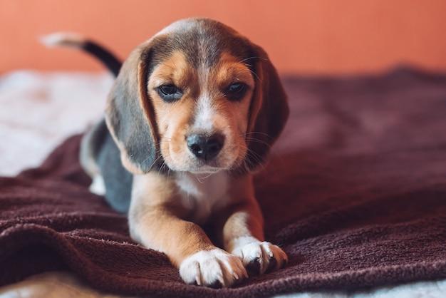 Mały pies gończy beagle, grając w domu na łóżku.
