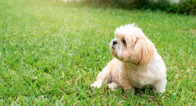 Mały pies hoduje shih tzu brown futerko w zielonym gazonie.