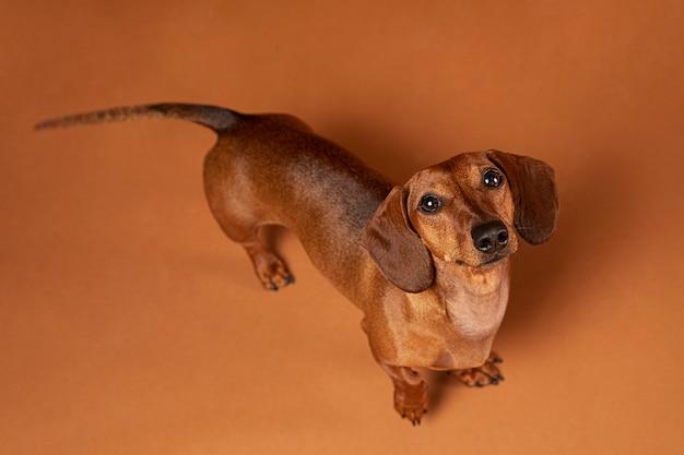 Mały pies jest uroczy?