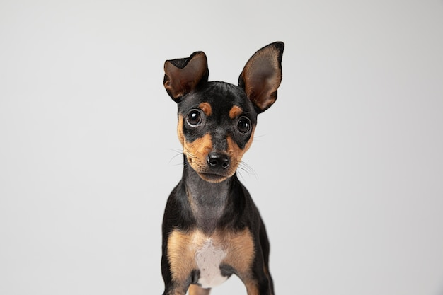 Mały pies jest uroczym portretem w studio