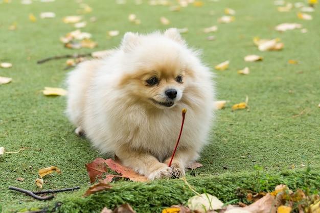 Mały pies leżący na trawie