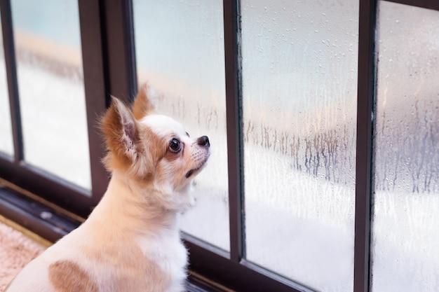 Mały pies patrząc przez okno.