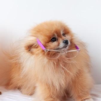 Mały pies pomorski kolor pomarańczowy siedzi na białym tle w okularach, okulary zsunął w dół, szpic odwraca wzrok.
